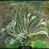 Agave picta